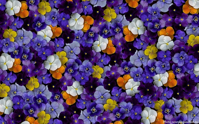 Interesting Facts About Violets Just Fun Facts