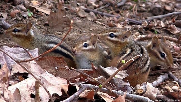 chipmunk-babies-2