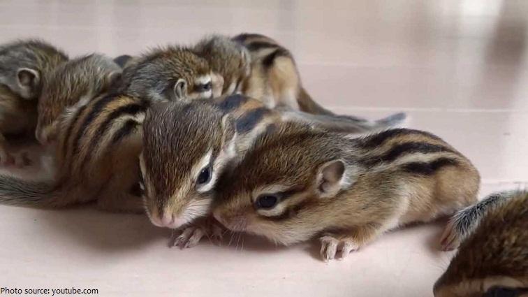 chipmunk babies