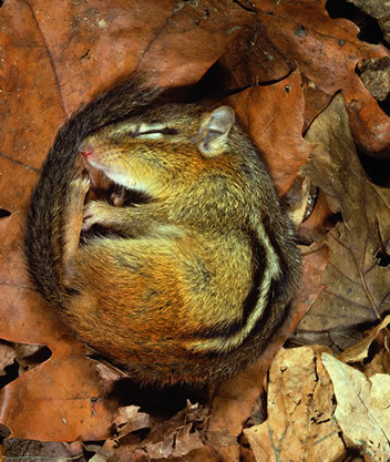 chipmunk sleeping