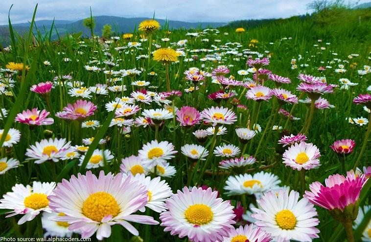 daisies-3