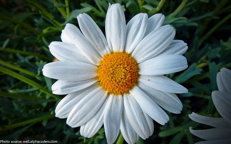 interesting facts about daisies  just fun facts, Beautiful flower