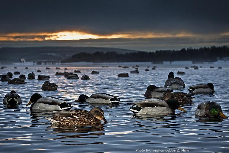 ducks-5