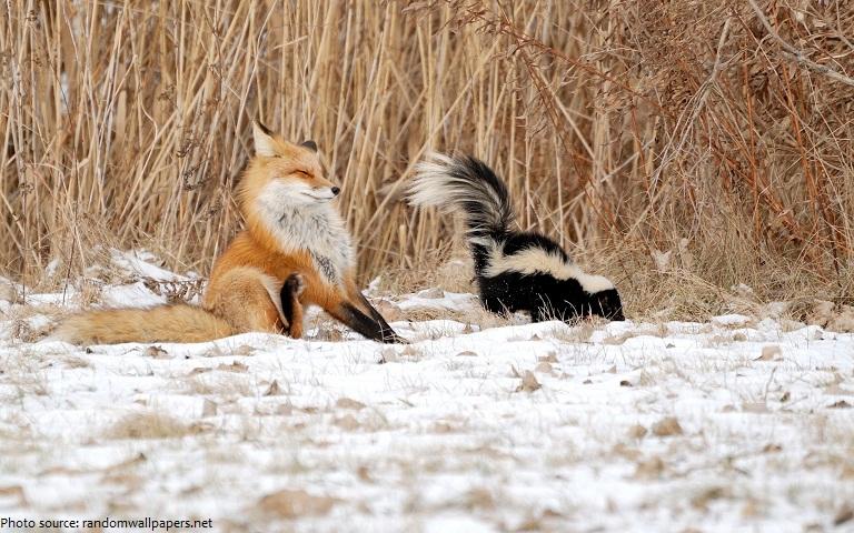 fox sprayed by the skunk