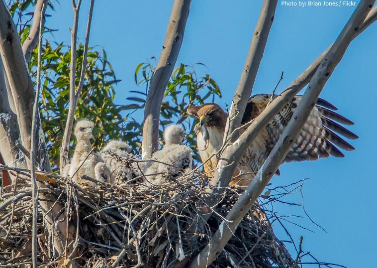 hawks chicks