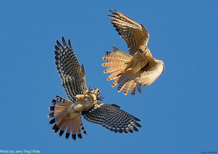 hawks courtship