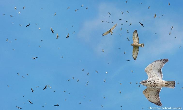 hawks flock