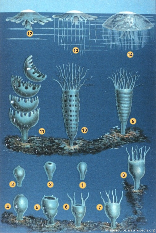 jellyfish reproduction