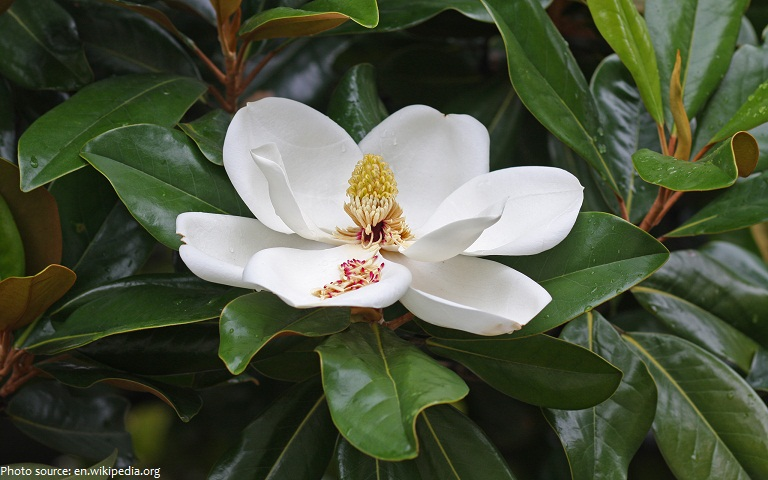 interesting facts about magnolia  just fun facts, Natural flower