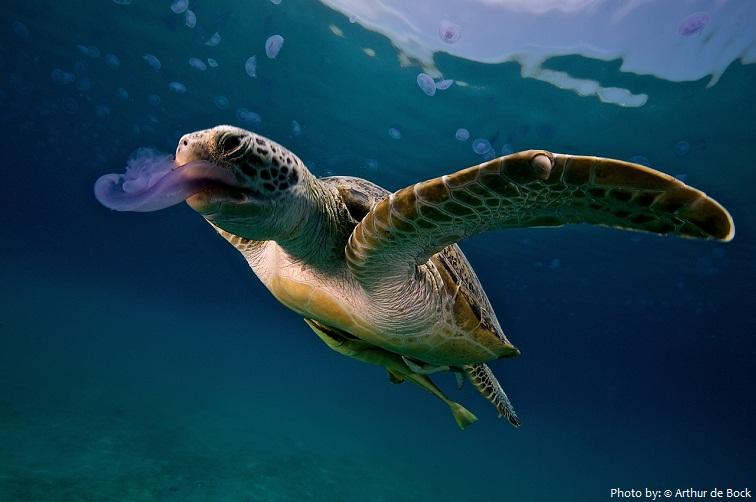 sea turtle eating jellyfish