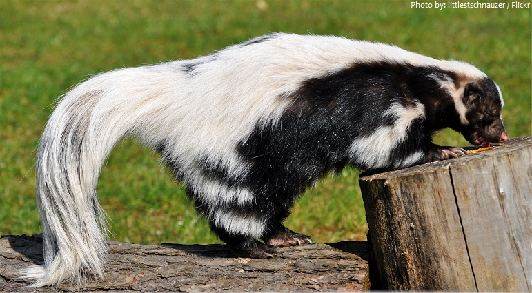 Interesting facts about skunks Just Fun Facts
