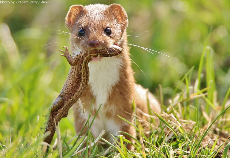 weasel and prey