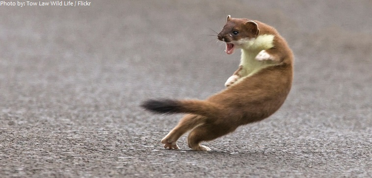 weasel war dance