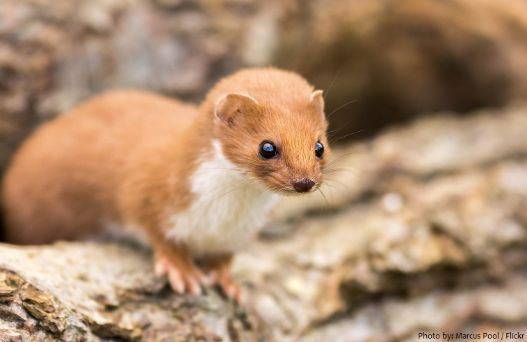 interesting facts about weasels just fun facts