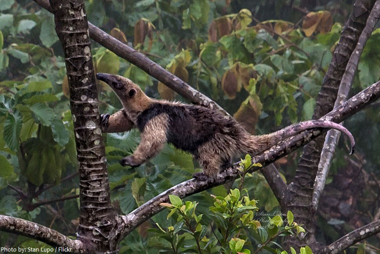 Anteaters eating ants