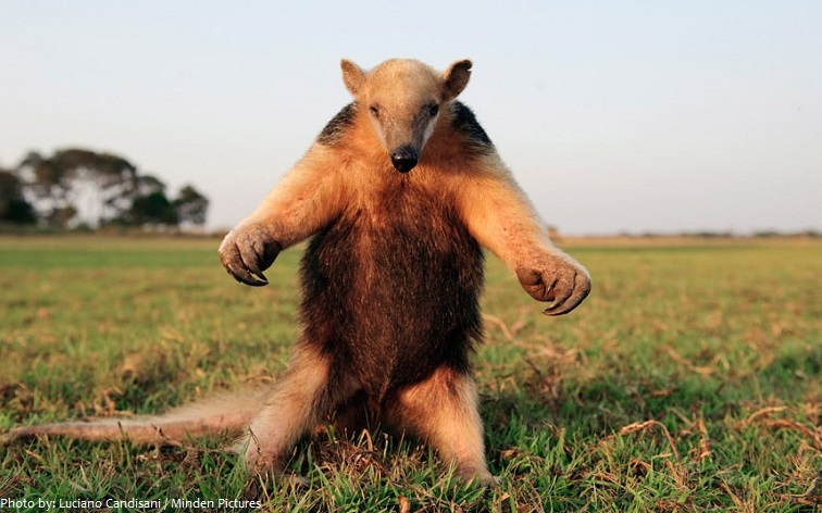 anteater standing up