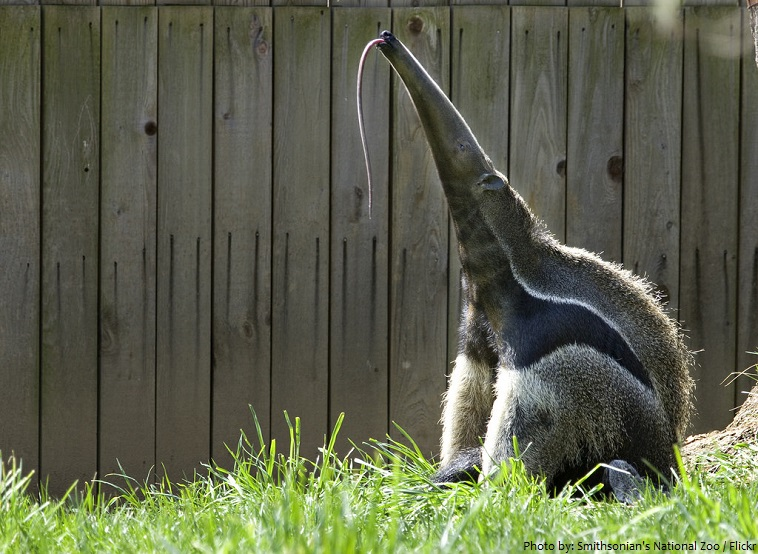 anteater tongue