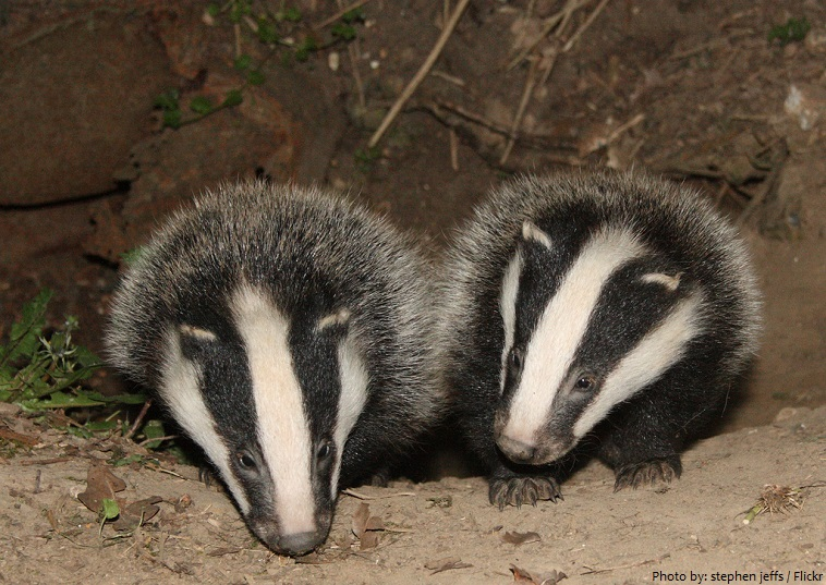 badger cubs