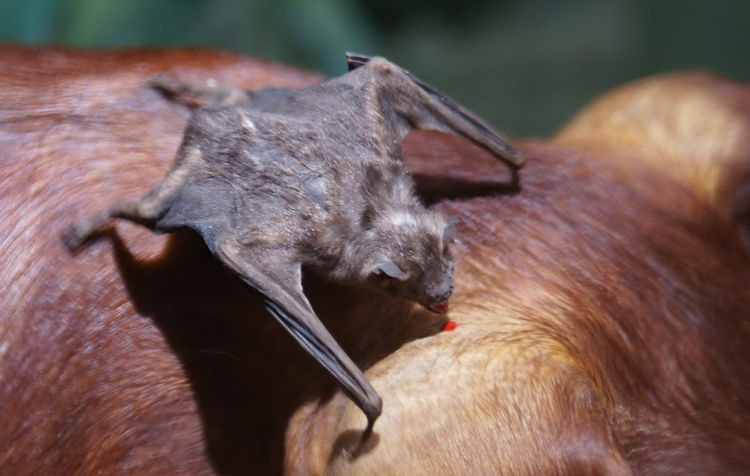bat eating blood