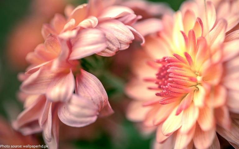 dahlia-flowers-2