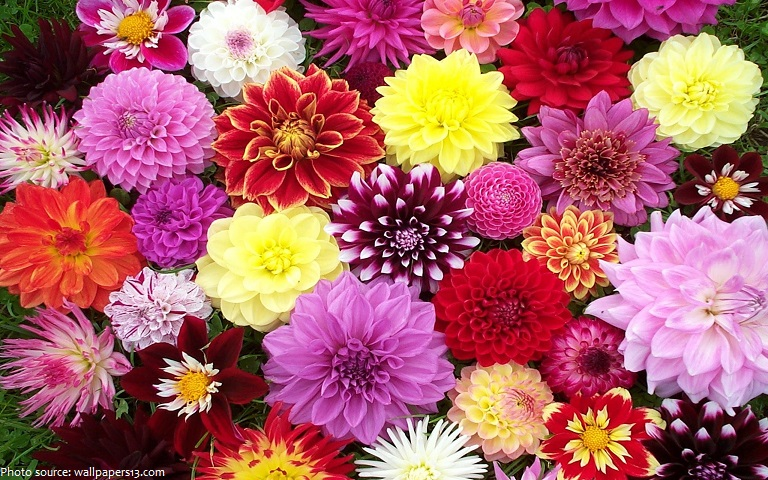 interesting facts about dahlias just fun facts