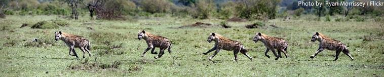 hyenas running