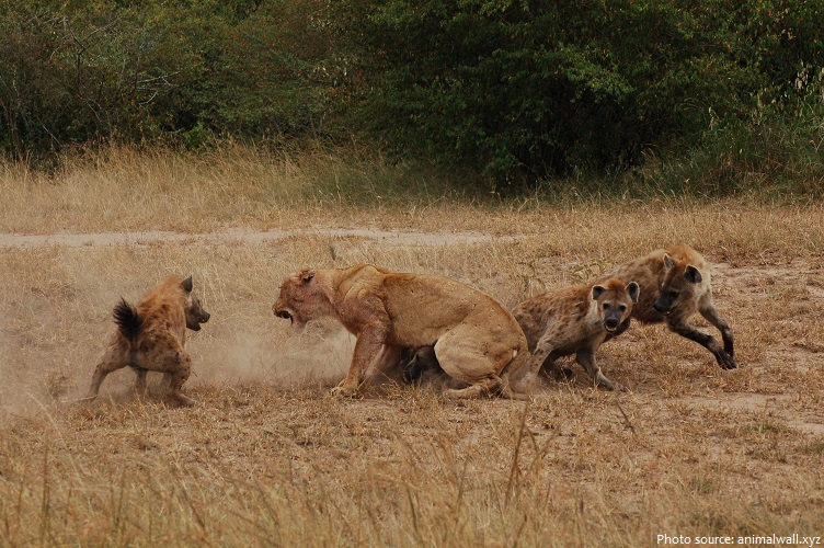 hyenas vs lions