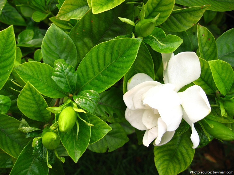 jasmine-4