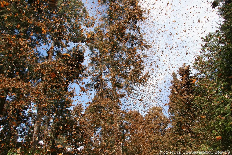 monarch butterflies migration