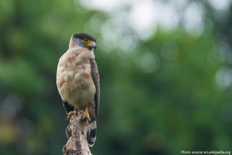 south nicobar serpent eagle