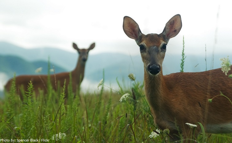 appalachian mountains deer