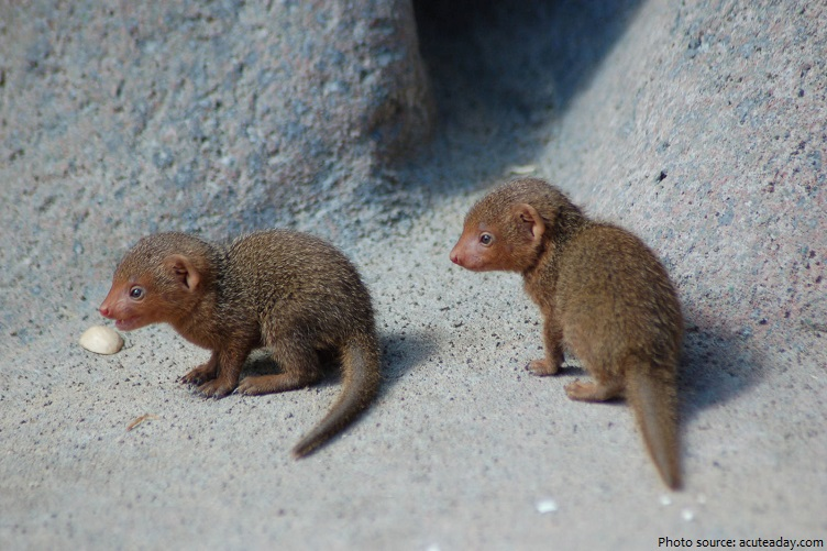 baby mongooses