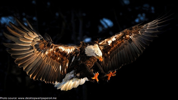 bald eagle open wings