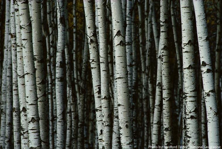 birch-trees-3