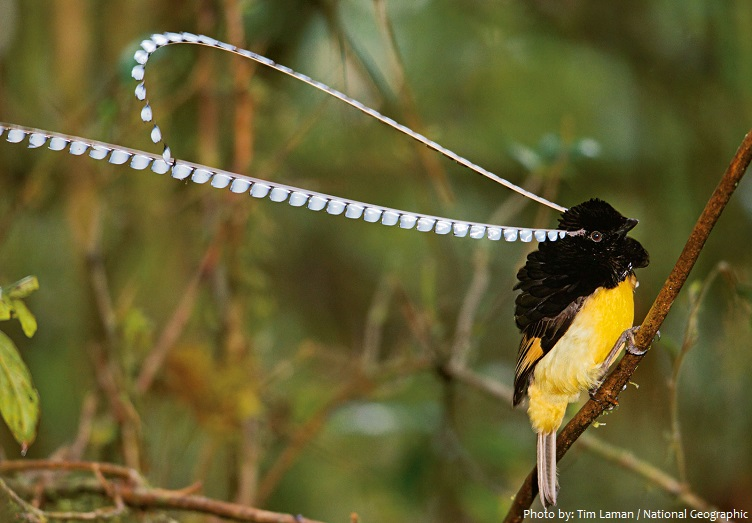 birds-of-paradise-3
