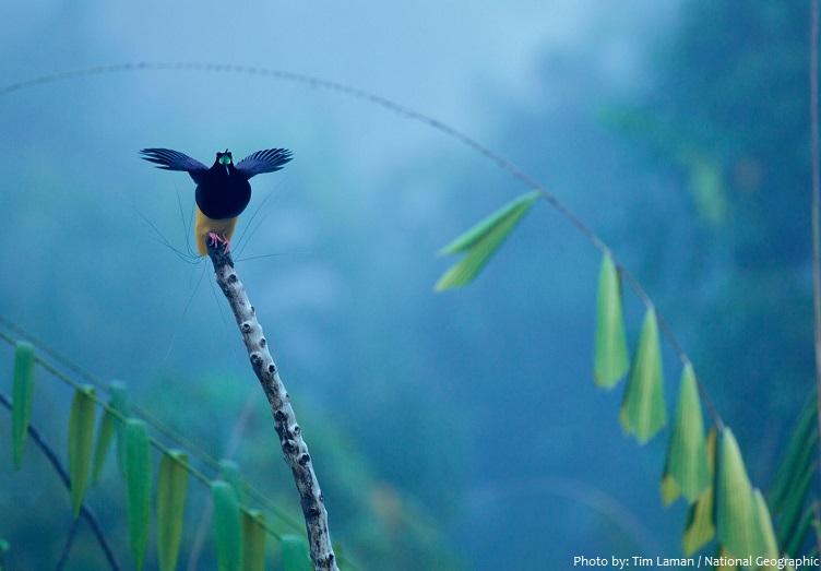 birds-of-paradise-4