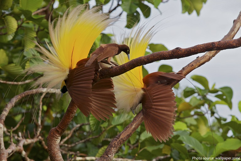 Interesting facts about birds of paradise | Just Fun Facts