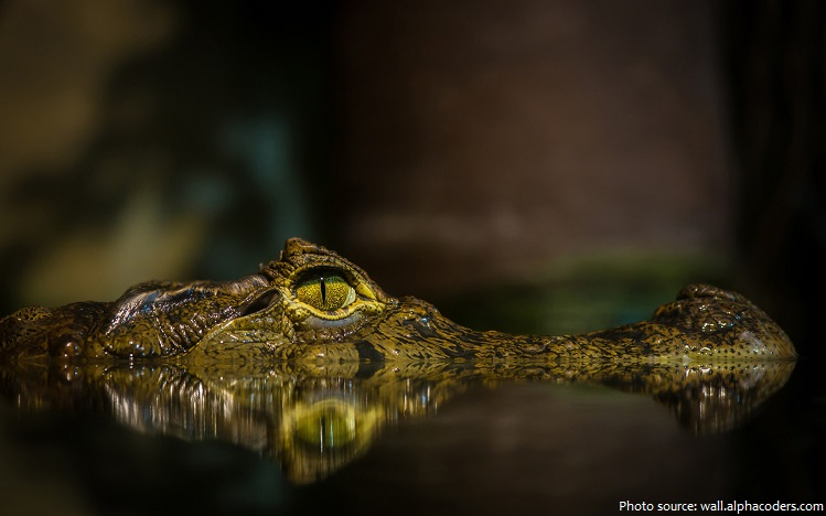 crocodile lurking