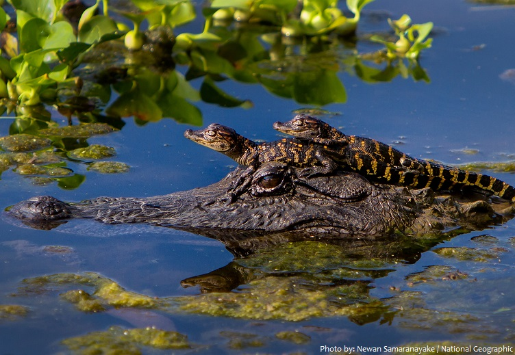 crocodile mother and babies