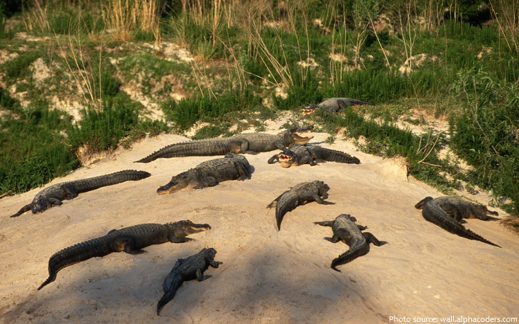 crocodiles sunbathing