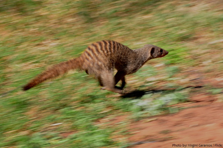 mongooses running