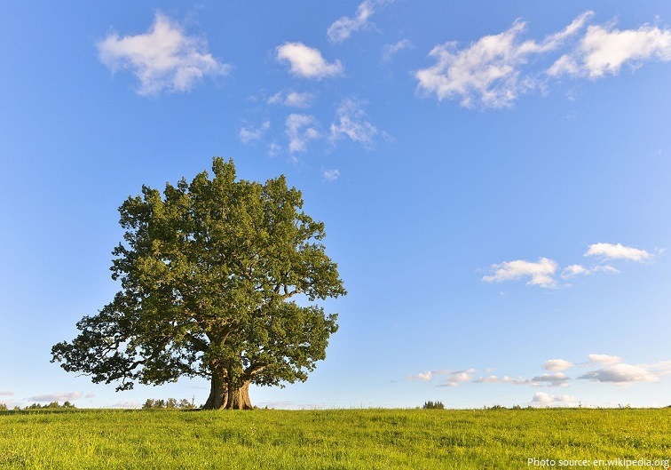 Interesting Facts About Oak Trees Just Fun Facts