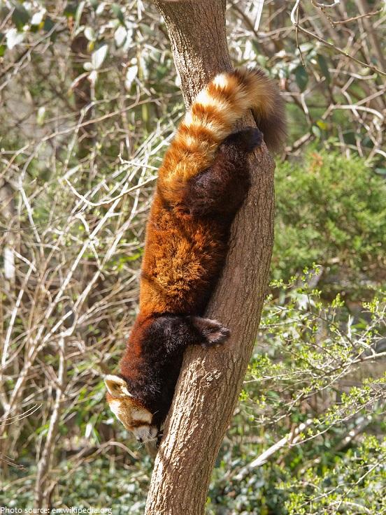 red panda descent