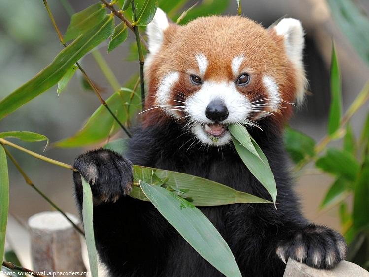 Red Panda Diet