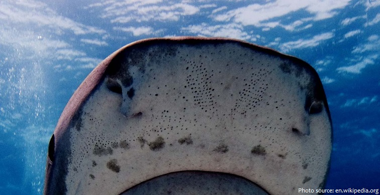 shark pores with ampullae of lorenzini