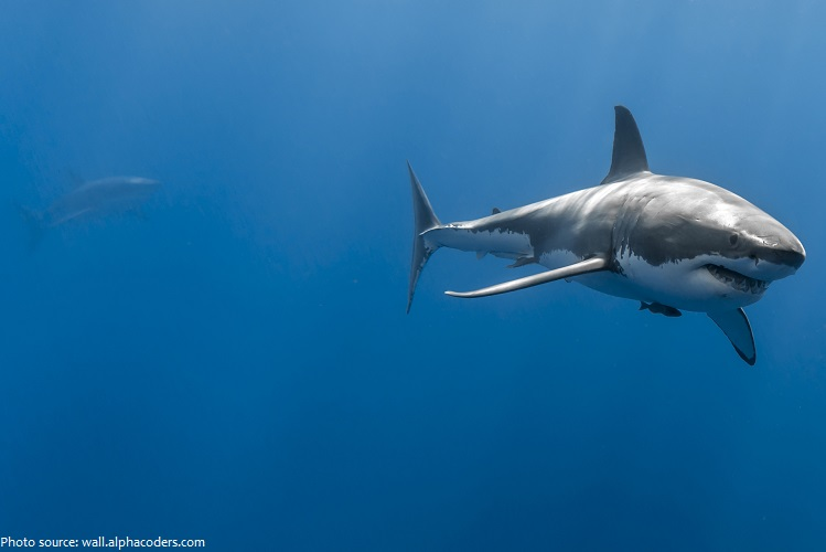 great white shark in group