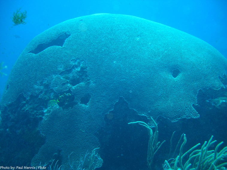 the biggest brain coral in the world
