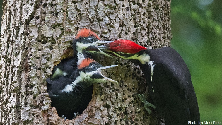 woodpecker chicks