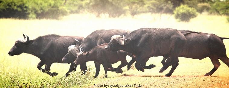 african buffaloes running