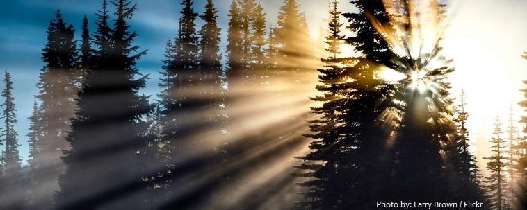pine-trees-2